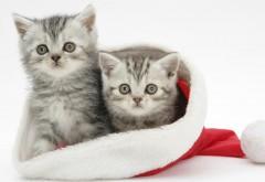 Котики в шапке Санта Клауса обои на рабочий стол