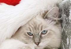 Кот, морда, пушистый, шляпа, Санта-Клаус, новый год, праз…
