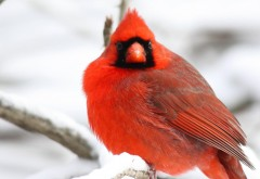 Кардинал Птица, красные перья, деревья, снег, зимняя ст�…