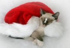 Кот, пятнистый, шляпа, Санта-Клаус, Дед мороз, Новый год, рождество, картинки, обои