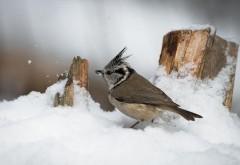 HD фоны, птица, снег, зима, картинки рабочего стола