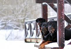 Скачать, Зимний фон, собаки Бесплатные обои скачать
