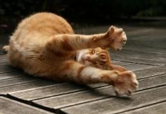 Большая кошка, рыжий кот, потягушки, фото, картинки