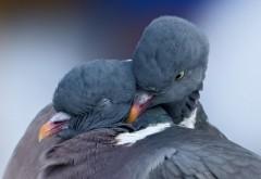 Голуби, птицы, любовное настроение, пара, картинки, фот�…