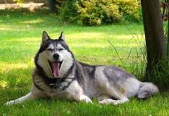Сонный Хаски собака картинки для рабочего стола