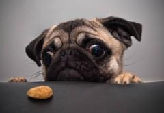 Животные, собака, печенье, стол, мопс, фоны, бесплатно
