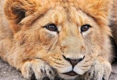 Обои львица