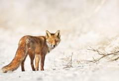 Маленькая лиса на снегу