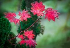 Листья красные осенние фон для рабочего стола