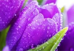 Капли воды на фиолетовых тюльпанах