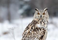 Глазастая сова