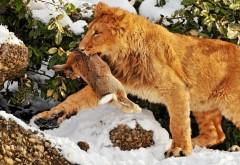 Лев с добычей кроликом или зайцем