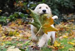 Золотая осень ретривер щенок играет с листвой
