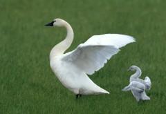 Белый лебедь и малыш лебедь обои на рабочий стол скачать