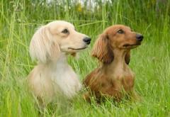 картинки на рабочий стол собаки в траве таксы