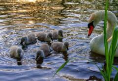 Лебедь с малышами обои