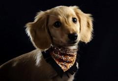 щенок с банданой собачка картинки