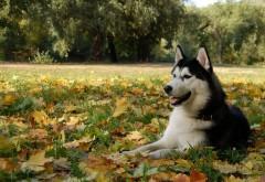 Хаски среди листьев обои