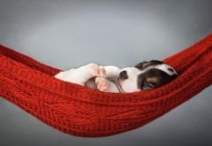 Собака, щенок, спит в гамаке