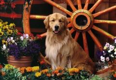 Золотистый ретривер в цветочном саду