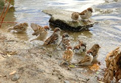 воробьи весенние купания