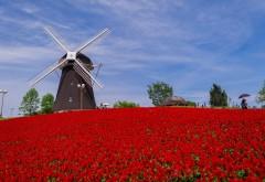 Цветок, тюльпаны, Красное поле, Мельница