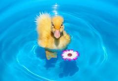Утенок, Цветочная вода, HD бесплатно, заставки
