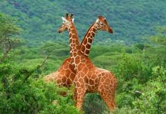 Животные в Африке, пара жирафов