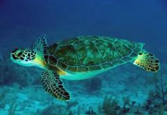 Зеленая черепаха Купание в море