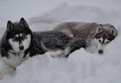 Хаски собаки в снегу