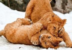 львята играют в снегу