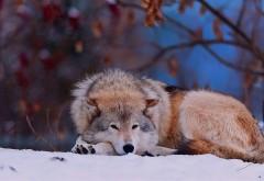 Волк сидит в снегу
