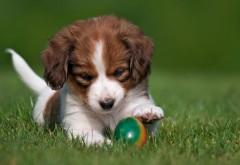 Коикерхондье, собака, щенок, мяч, игривый