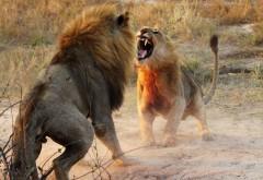 Лев Хищник Битва фотография Фон