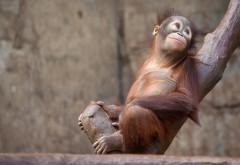 Орангутанг, обезьяна, дерево