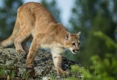 Пума, Кугуар, Горный лев, дикая кошка, хищник