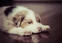 щенок, сон, собачка