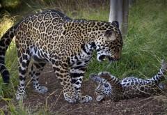 ягуар и ее детеныш игры