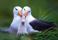 Чайка семья