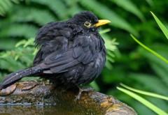 Черная птица