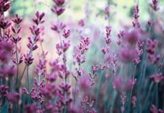 Поле, лаванды, Природа, фиолетовые цветы, заставки