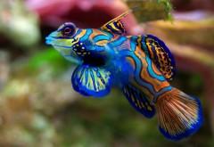 рыба мандаринка HD