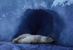 полярный медведь спит