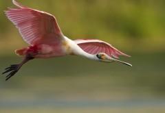 Фламинго в полете