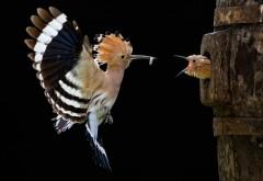 удод, кормления, птичка