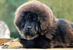 мастифа, собака, глаза, волосы