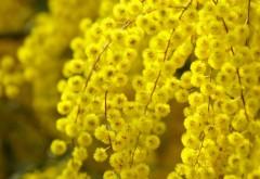 акации цветы