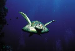 черепаха под водой картинки