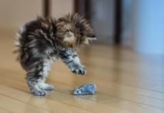 Котята, симпатичный, играть, мышь, HD фон, взъерошенный