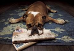 Бульдог, газеты, ленивая собака, английский
